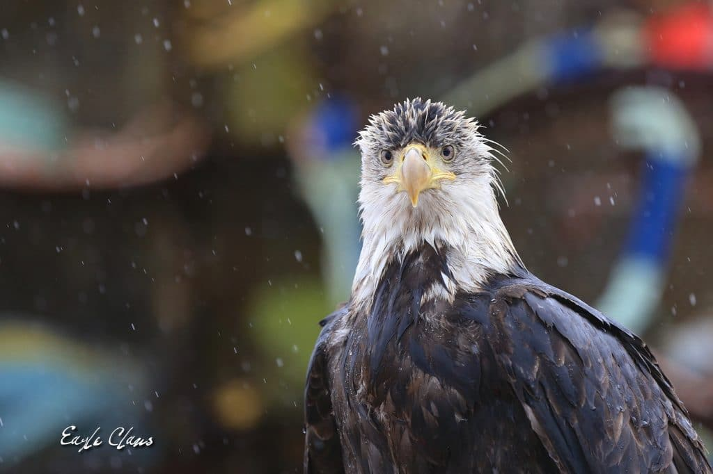 Tigaldo - Young Bald Eagle